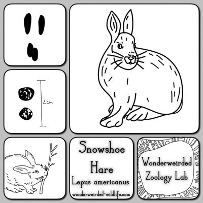 Snowshoe Hare Facts Study Card,Snowshoe Hare Pictures ...