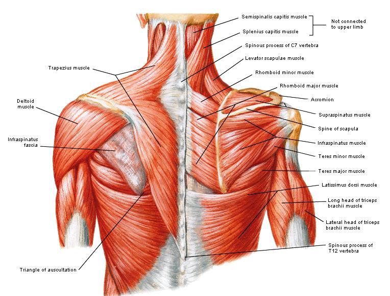 Schouderspieren | piks | Pinterest | Anatomy