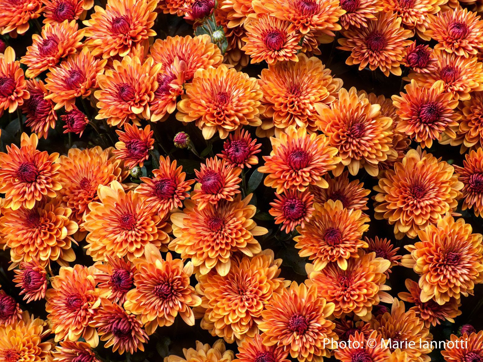 Fall garden mums will they come back next spring garden mum fall garden mums will they come back next spring izmirmasajfo