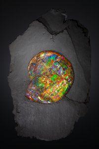 """Fossils:Cepholopoda, SPECTACULAR """"GEM"""" AMMONITE . Placenticeras costatum.Late…"""