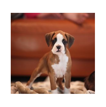 Puppies For Sale From Registered Dog Breeders In Adelaide 14 Clarifications On Siberian Husky Puppies Bre In 2020 Boxer Breeders Pug Puppies For Sale Puppies For Sale