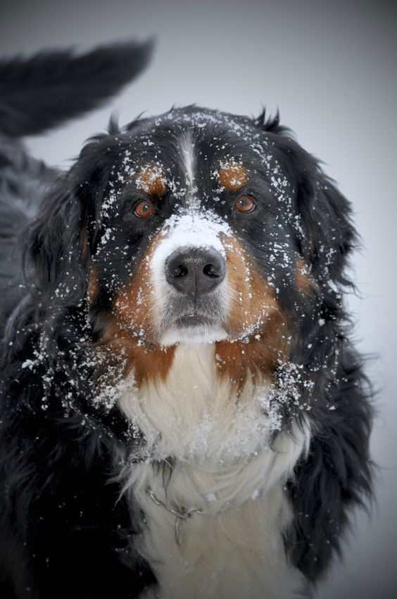 Bernese mountain dog! Such beautiful loving dogs! Makes me cry