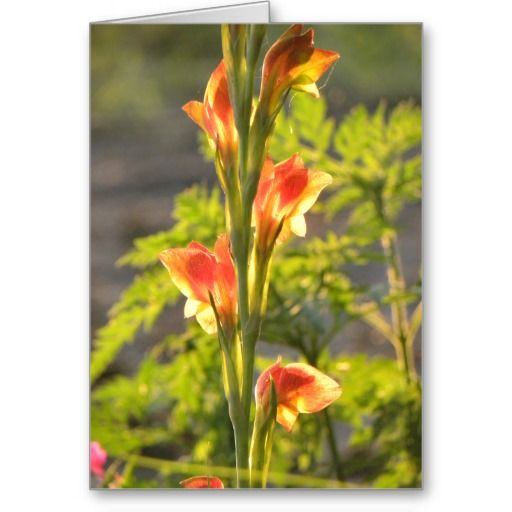 http://www.zazzle.com/mycountrystore - Golden Gladiola Greeting Cards