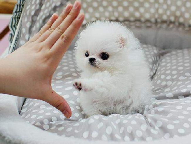 White Pomeranian Teacup Puppies Zoe Fans Blog Pomeranian Puppy Teacup Cute Baby Animals Teacup Animals