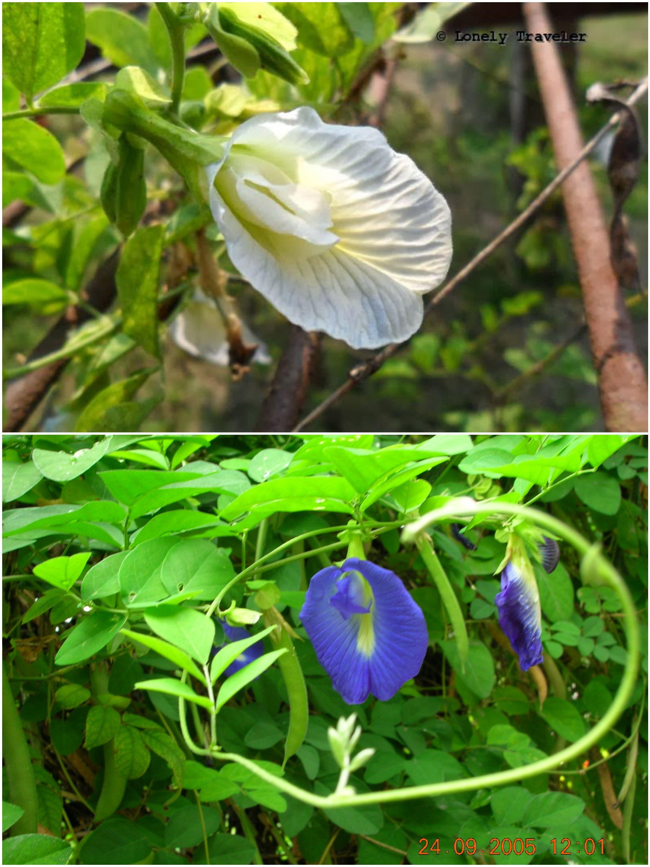 Oporajita অপর জ ত ফ ল Butterfly Pea Flower Clitoria Ternatea Herbal Plants Beautiful Flowers Pretty Flowers