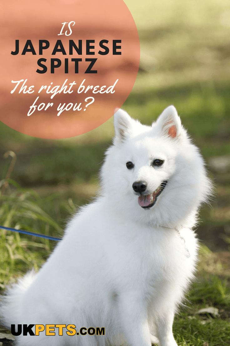 Japanese Spitz Dog Breed Information Uk Pets Japanese Spitz Spitz Dogs Dog Breeds That Dont Shed