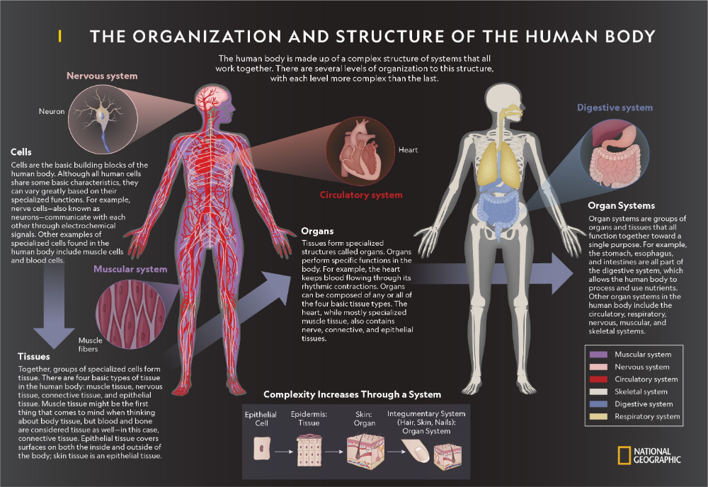 The Organization and Structure of the Human Body   Human ...
