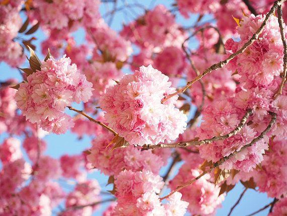 Cherry Blossom Tree High Resolution Print Wall Art Fine Art Photography Nature Photography Cherry Blossom Photos Sak Krasivye Cvety Cvetenie Vishni Vishnya