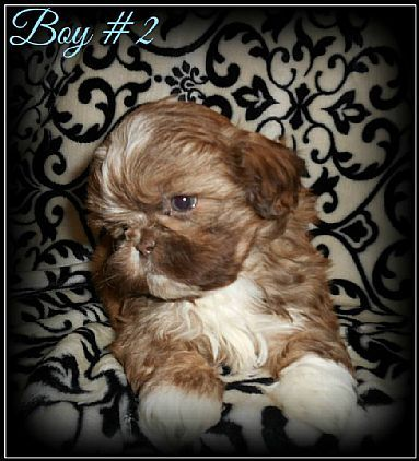 Shih Tzu Puppies Pet Dog Puppies For Sale In Hannacroix Ny A00006 Want Ad Digest Classified Ads Pet Dogs Puppies Shih Tzu Puppy Pets