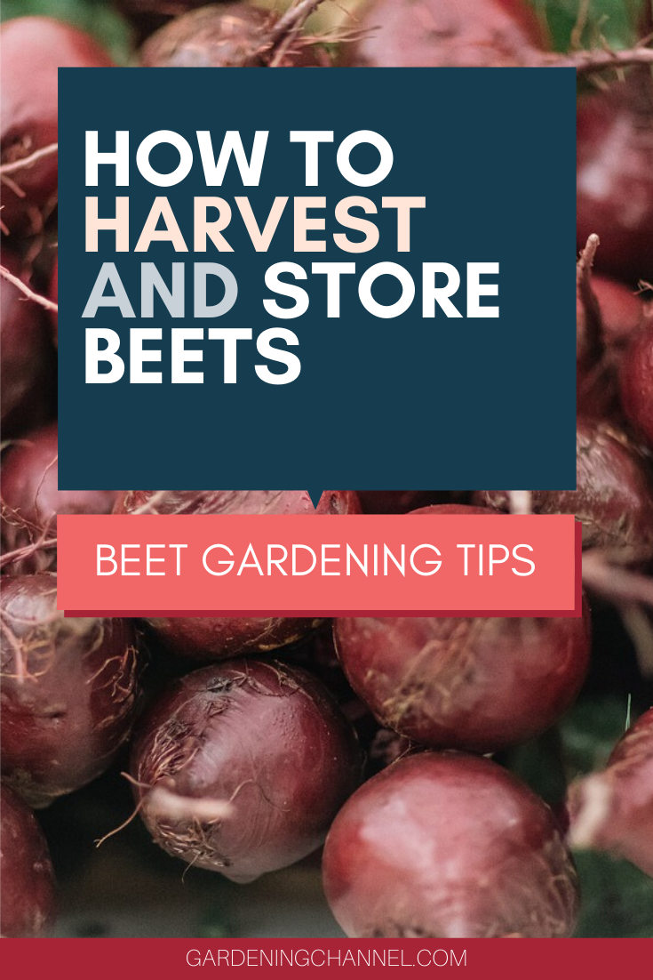 How Do You Harvest And Store Beets Gardening Channel Vegetable Harvest Beets How To Store Beets