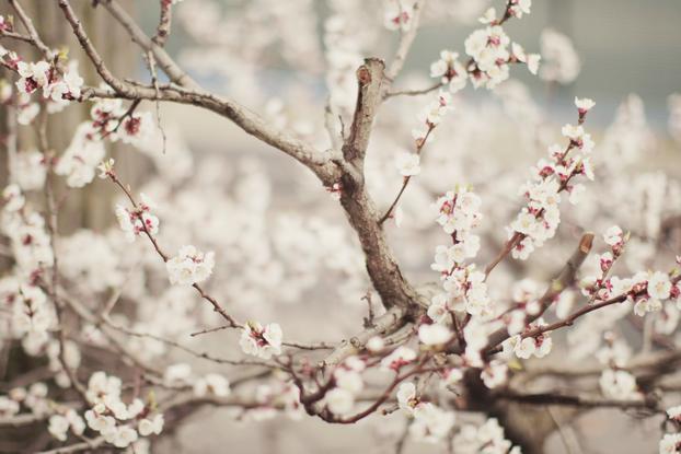 Cherry Blossom Art Print By Jovana Rikalo Society6 Cherry Blossom Art Cherry Blossom Cherry Blossom Tree
