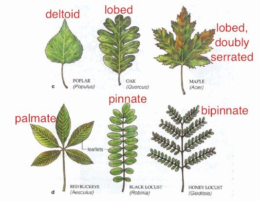 the difference between pinnate and palmate leaves � draw