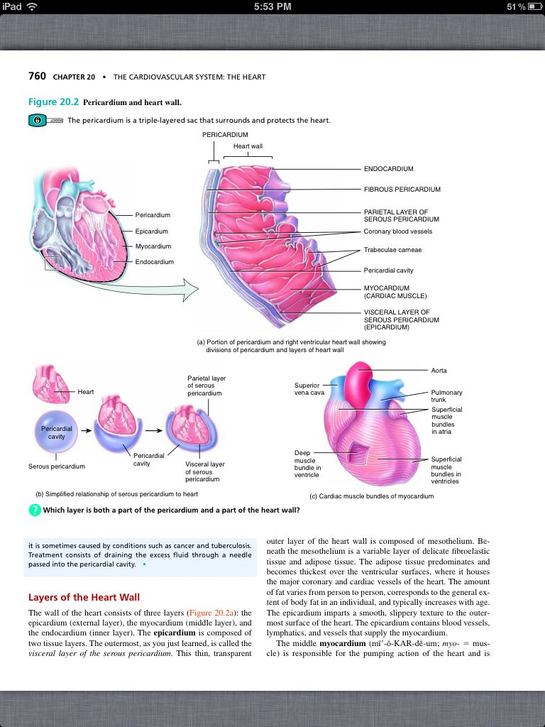 Principles of Anatomy and Physiology, Chapter 20, The Cardiovascular ...