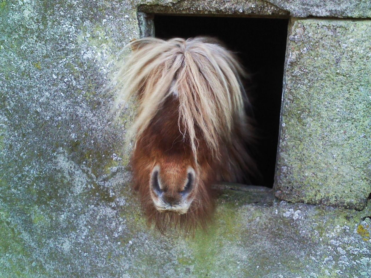 Brygarth Shetland Ponies: Photo