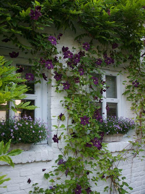 Pin Von Claudia Pitt Auf Garden | Pinterest | Blume, Bilder Und ... Bluhende Kletterpflanzen Garten Topfpflanze