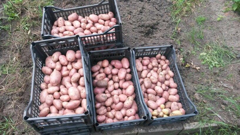 Mooie vroege aardappel monte carlo tuin op tafel