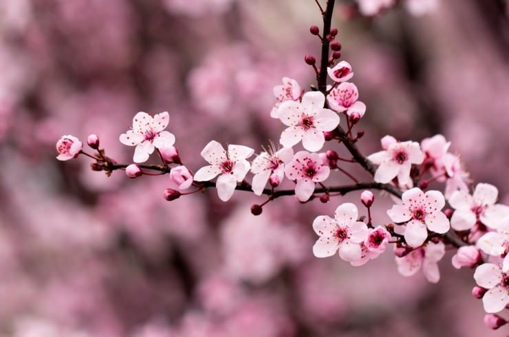The Wonderful Cherry Blossom Festival In Changwon South Korea Cherry Blossom Images Cherry Blossom Wallpaper Cherry Blossom Festival