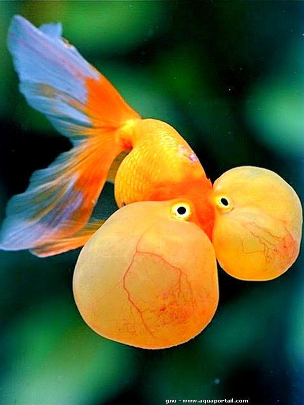 Bubble eye poisson rouge aux yeux surgonfl s my for Achat poisson rouge japonais