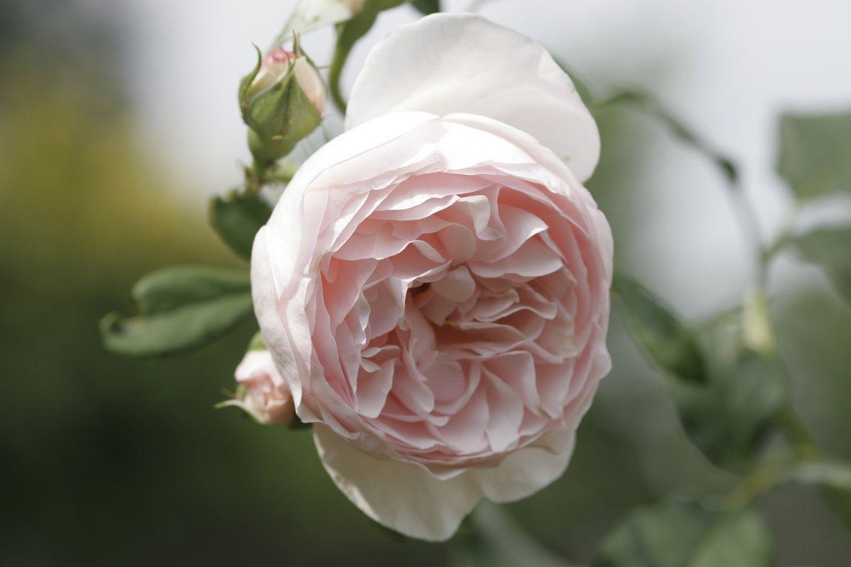 Einen rosengarten anlegen incredible plants pinterest for Gartenidee beet