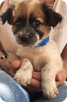 Trinidad Co Australian Shepherd Australian Cattle Dog Mix Meet Romeo A Puppy For Adoption Http Www Adoptapet Com Australian Shepherd Working Dogs Pets