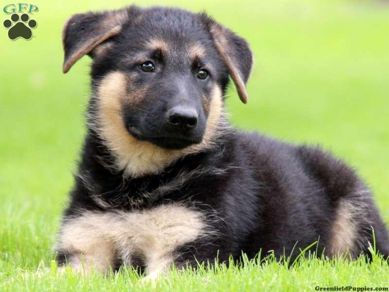 Warren, German Shepherd puppy for sale in Paradise, Pa