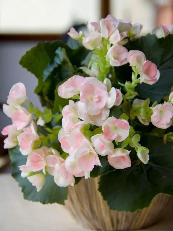20 Flowering Houseplants That Will Add Beauty to Your Home – Fragrant flowers
