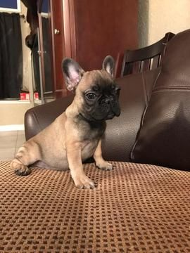 Litter Of 7 French Bulldog Puppies For Sale In Moreno Valley Ca