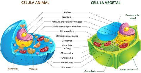 Celula Animal Vs Celula Vegetal Célula Animal Célula