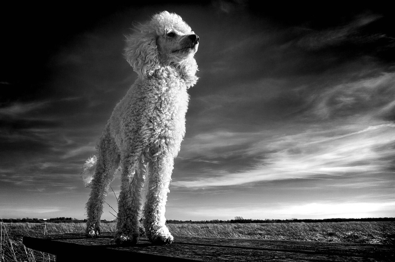 Free Image For Personal Or Commercial Use Dog Breeds Poodle