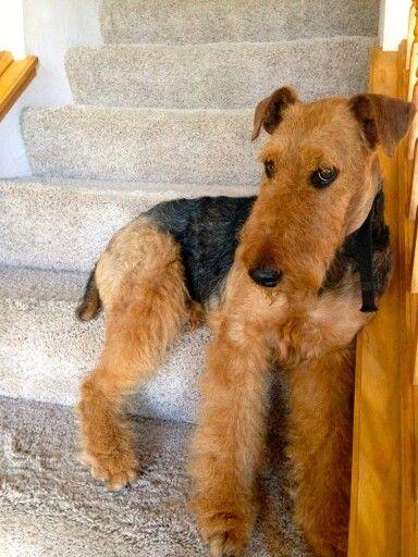 Stink Eye Airedale Terrier Terrier Lakeland Terrier
