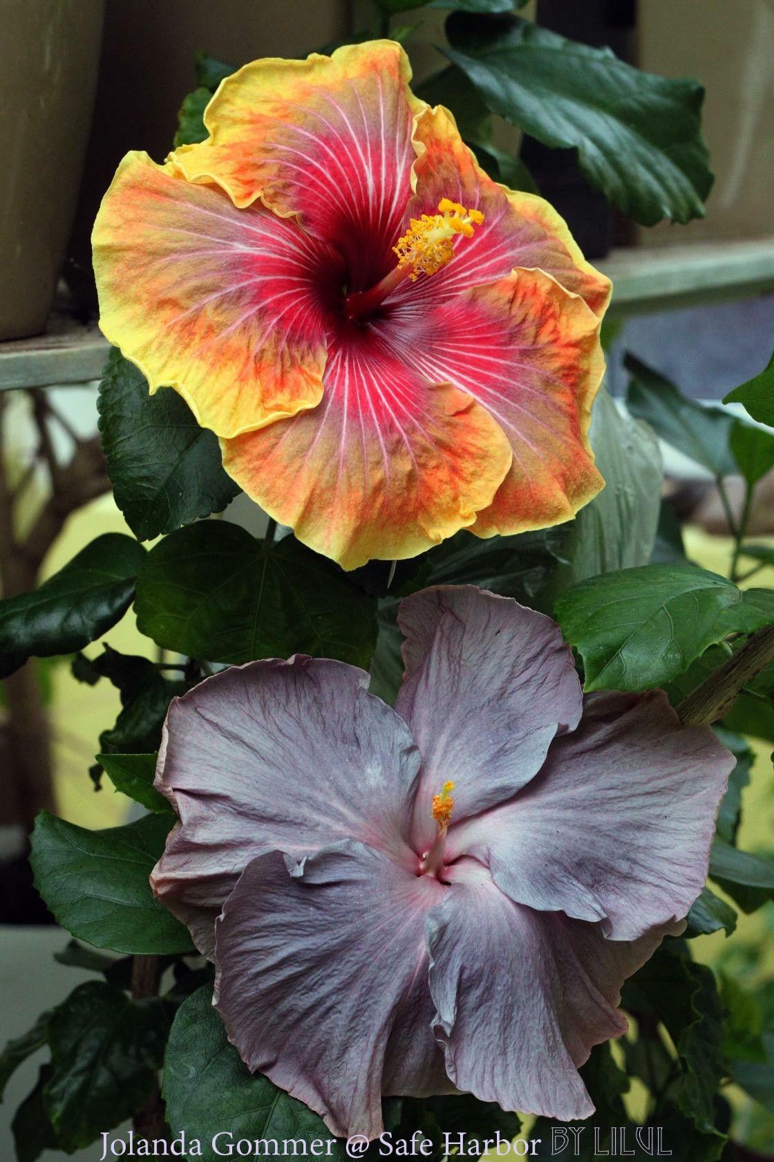 Pin by c on pinterest hibiscus flowers hibiscus flowers faces beautiful flowers gardens hibiscus pretty flowers outdoor gardens the face garden izmirmasajfo