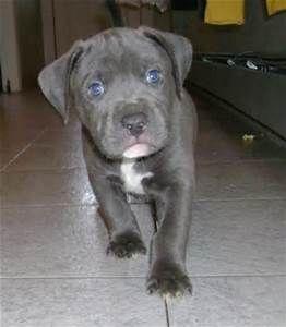 Gray Pitbull Bing Images Grey Pitbull Puppies Pitbull Puppies