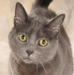Adopt Mason On Russian Blue Grey Cats Cats Kittens