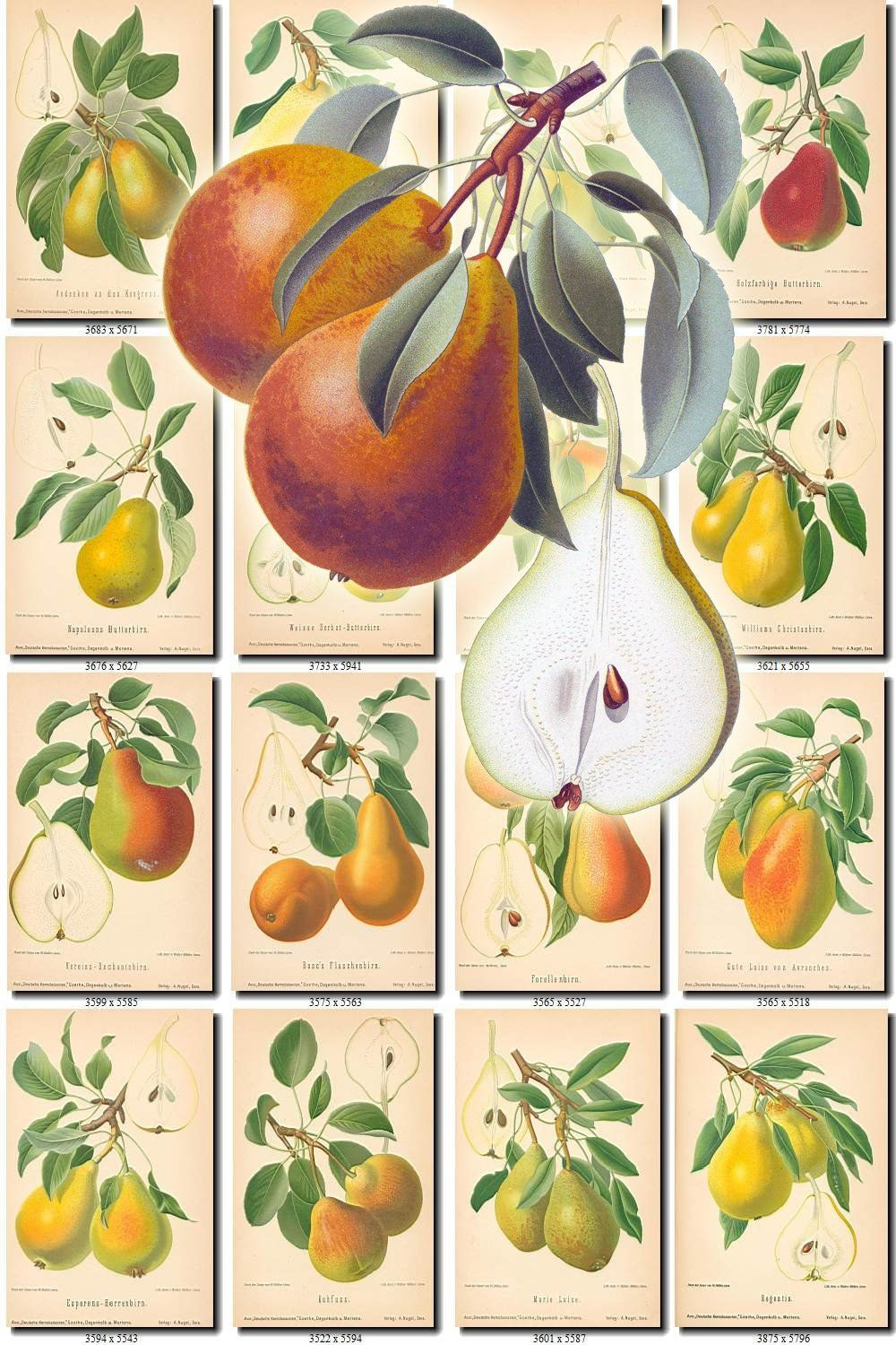 Pear collection of vintage images pears with other fruits