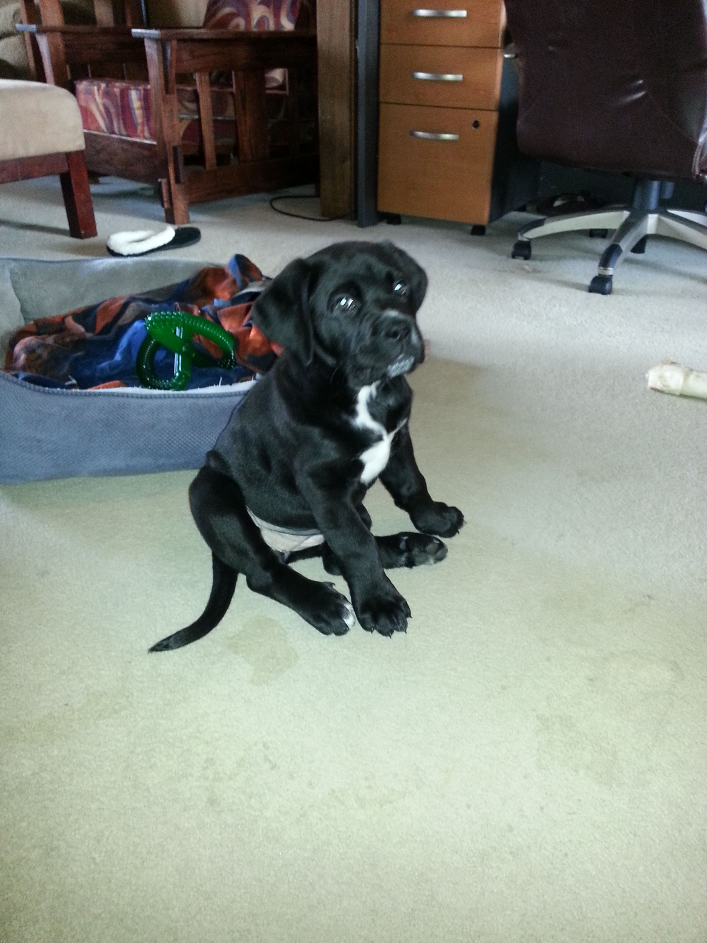 Helga Cane Corso At 7 Weeks She Is A Delight Cane Corso St