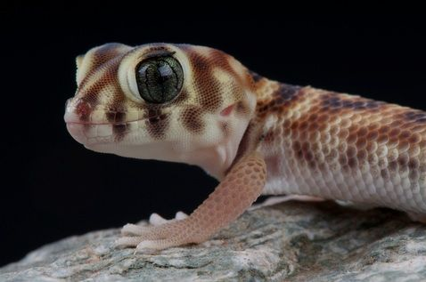 Frog Eye Gecko for Sale | Reptiles for Sale