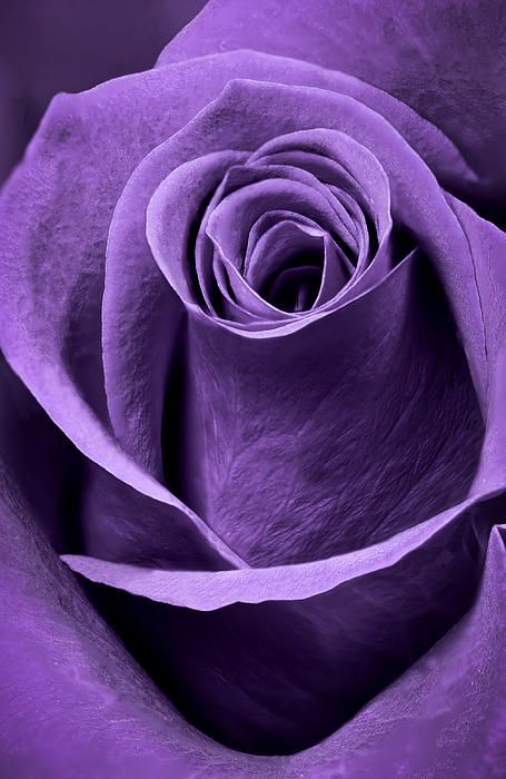 Violet Rose Macro - by http://AdamRomanowicz.com Please respect copyright! :)