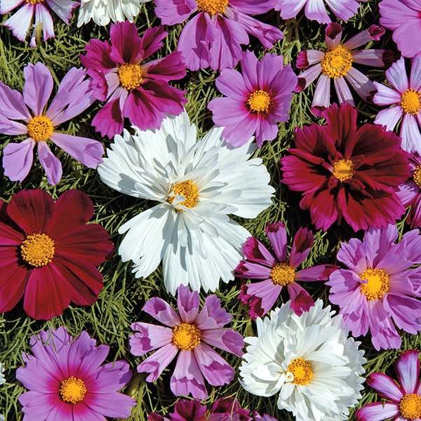 Cosmos Double All Sorts Mix Annual Flower Seeds Annual Flowers Flower Seeds Cosmos Plant