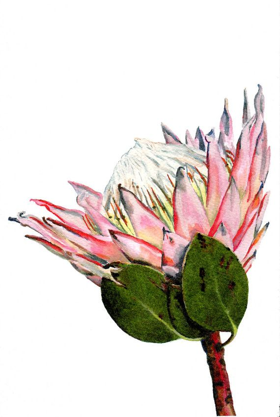 Watercolor Flower Painting Print Of An Indigenous South African Fynbos King Protea Via Etsy Protea Art Watercolor Flowers Paintings South African Art