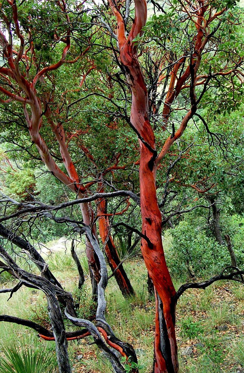 Madrona Tree Tattoo