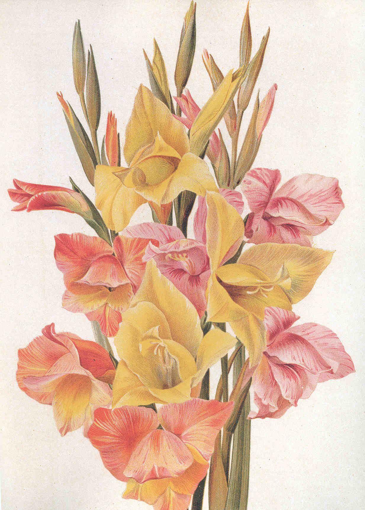 gladiolus botanical illustration - Google Search