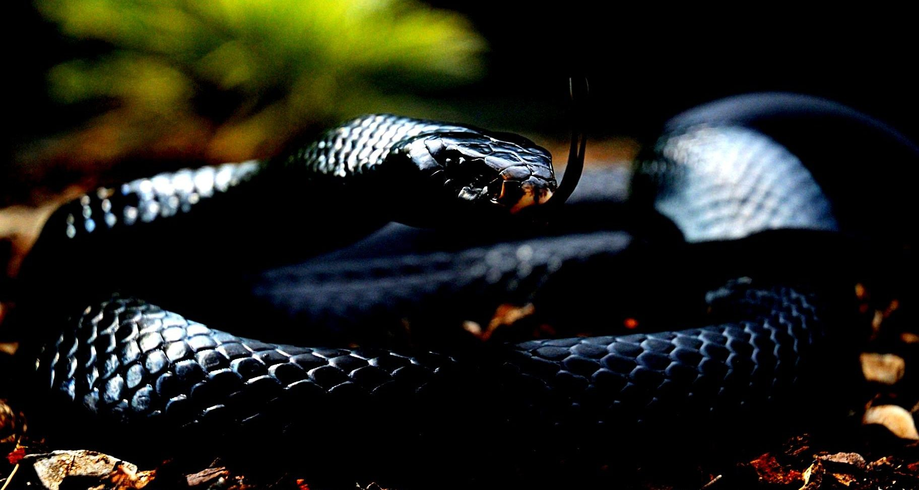 Collection Of Black Mamba Snake Wallpapers On HDWallpapers 1824x972 Picture 57