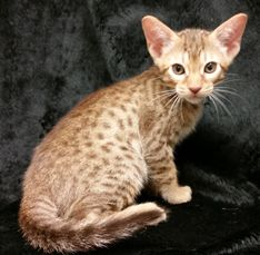 Cosmic Spots Ocicats Ocicat Kittens For Sale Year Round Breeder Of Ocicat Cats And Kittens Near Philadelphia Pa New Y Ocicat Cats And Kittens Kitten For Sale