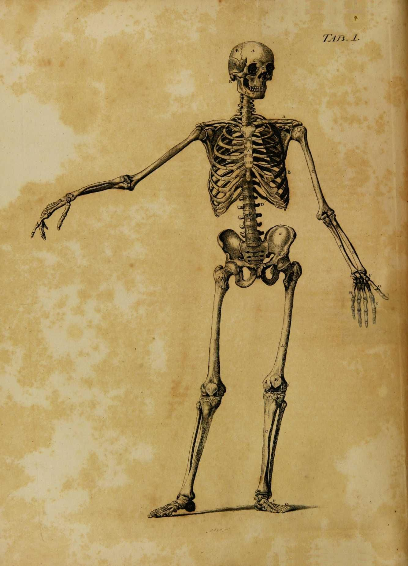 A Back View Of The Male Skeleton With Some Of The Cartilages And