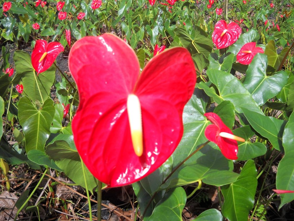 Anthurium Indoor Flowering Plants Plants Plant Species