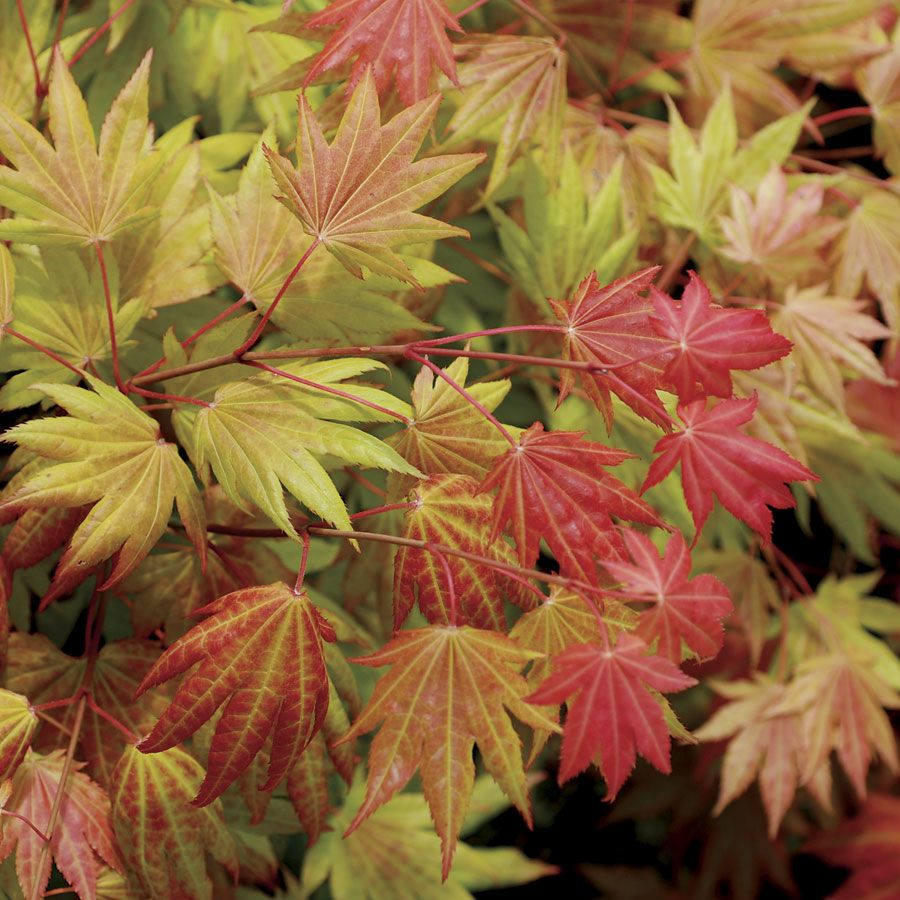 Moonrise Full Moon Japanese Maple 70 Each Grows Up To 8 Ft Tall Tolerates Full Sun