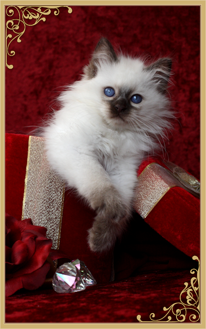Balinese Cat Breeder Balinese Cats For Sale By Siamese