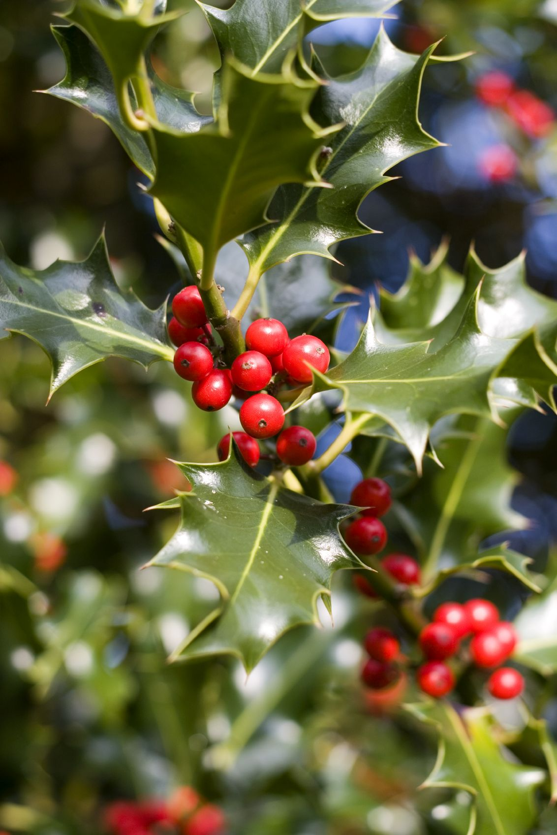 holly fertilization tips u2013 when and how to fertilize holly bushes