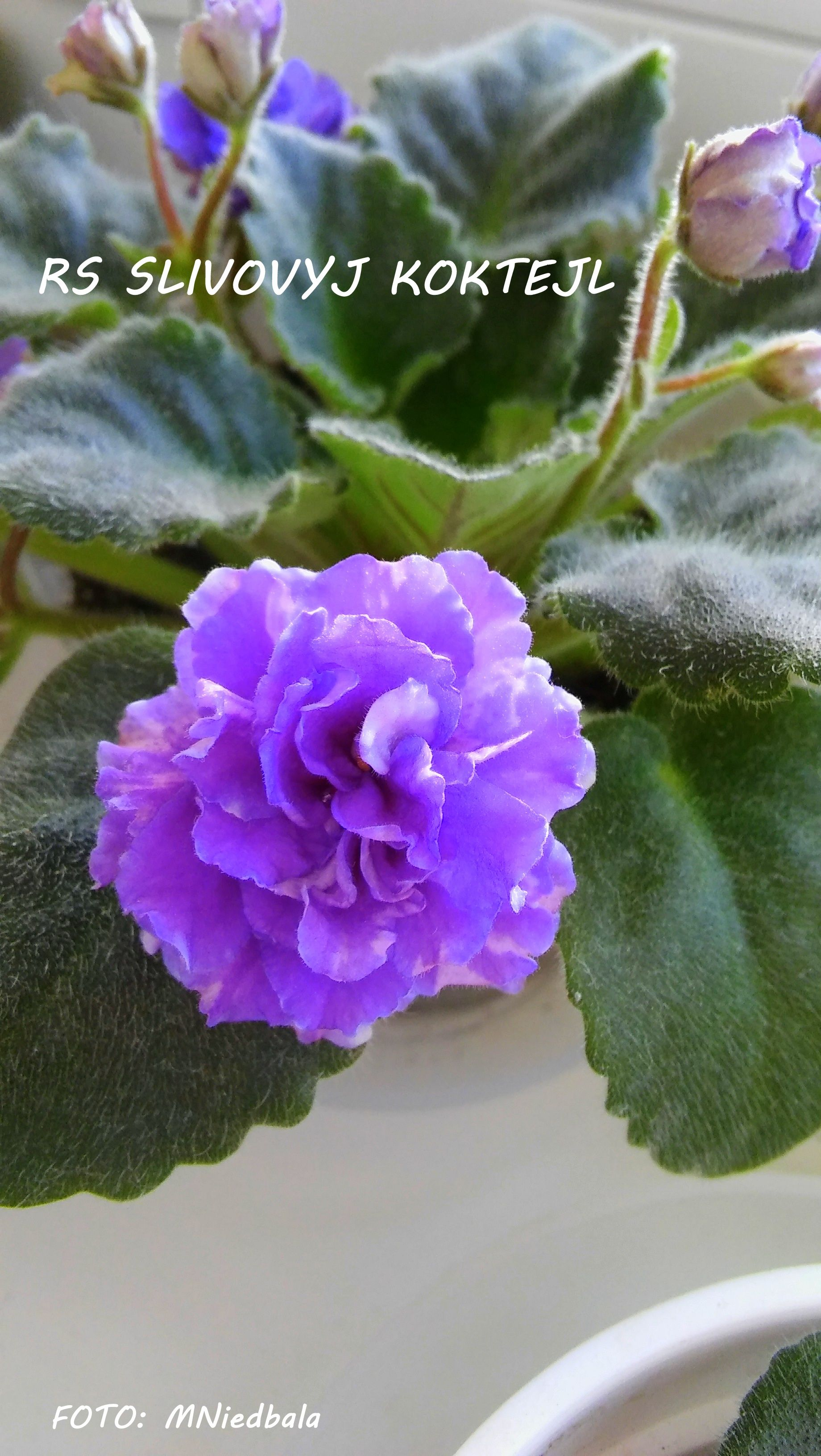 ☘ LE-KARDAMON ☘ African Violet Plant ☘ Plug Russian//Ukrainian Variety NEW 2017