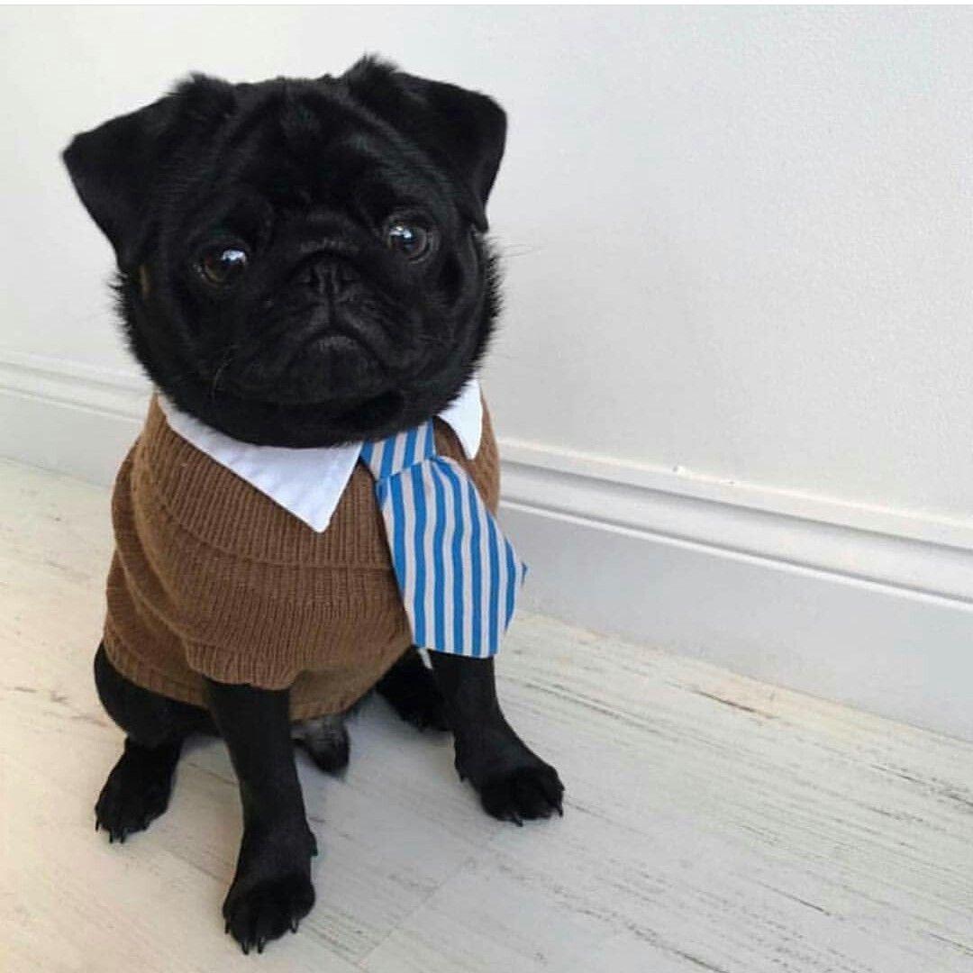 милые картинки мопса в костюме бизнесмена вечернее